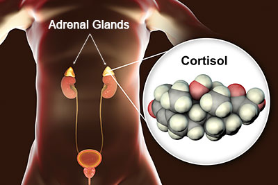 cortisol_adrenal_glands_sm.jpg